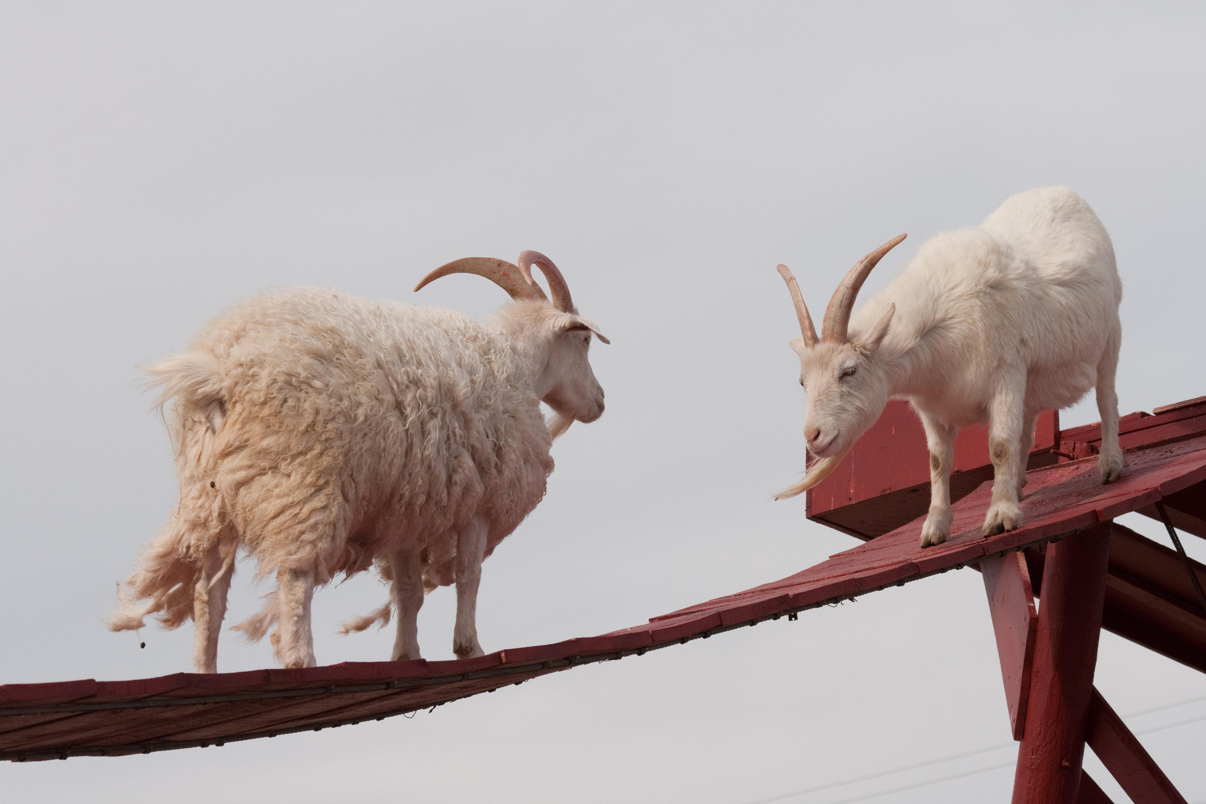 caprele pe punte
